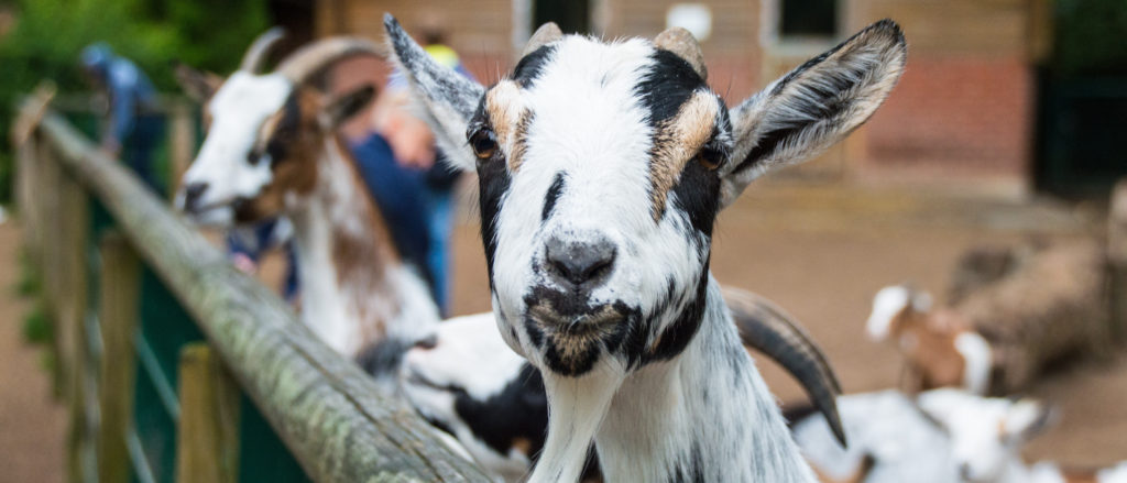 goat-1600886 (1)